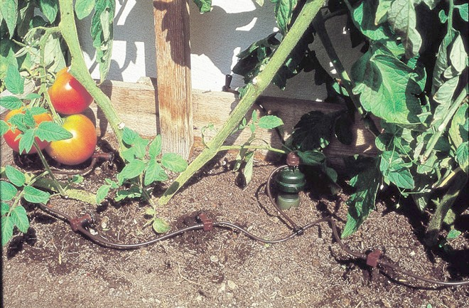 kroplowniki           dystrybucyjne podlewają pomidory